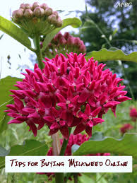 era nurseries buy trees online wholesale australian native 7 helpful tips for where to buy milkweed online