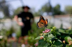 mexico s monarch butterfly population makes a comeback what