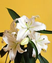 White Lily Flower White Lily Flower Photo Free Download