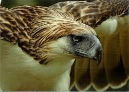 philippines eagle tattoo 7 best malaysia u0027s unique fauna images on pinterest malaysia