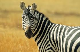 zebra the new red meat time