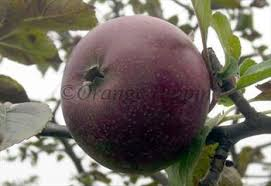 black oxford apple trees for sale buy friendly advice