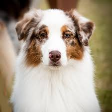 australian shepherd kennel club home