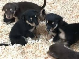 belgian shepherd x alaskan malamute alaskan malamute dogs and puppies for sale in the uk pets4homes