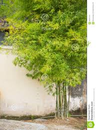 beautiful bamboo tree in the house stock photo image 58407737
