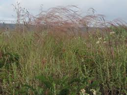 native grass plants a growing passion mexican needlegrass don u0027t plant this a