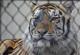 lsu u0027s beloved mike the tiger vi dies after battle with cancer