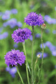 Types Of Garden Flowers - wonderful gomphrena globosa this beautiful is full of