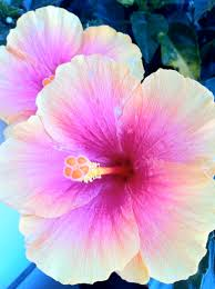 which state has a hibiscus this hibiscus is one of the many beauty u0027s in nature u2026 pinteres u2026