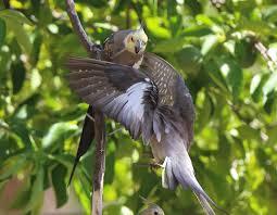 richard waring u0027s birds of australia wild cockatiel family fun in