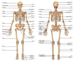 picture of skeletal system human anatomy diagram