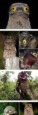 Potoo Bird Meme - photos of potoo bird humor fun stuff pinterest potoo bird