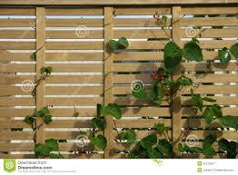 Wooden Vegetable Garden by Vegetable Garden Scarlet Runner Beans Fence Royalty Free Stock