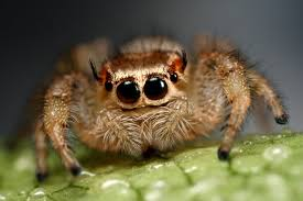 Cute Spider Meme - jumping spiders funny face by macrojunkie on deviantart
