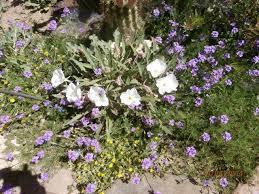Apache Junction Flowers - apache junction arizona camping photos mesa apache junction koa