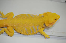 citrus bearded dragon bearded dragon breeders