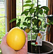 indoor citrus trees u2013 tips for growing citrus houseplants