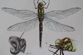 cath hodsman wildlife and natural history artist january 2013