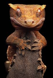 Halloween Crested Gecko Morph by 45 Best Geckos Images On Pinterest Lizards Crested Gecko And