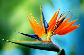 bird of paradise flower reasons why i really bird of paradise flowers flowers