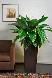 houston u0027s online indoor plant u0026 pot store large spath sensation