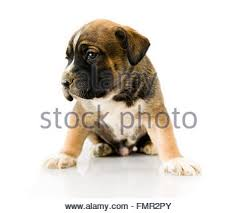 boxer dog grooming boxer dog grooming stock photo royalty free image 3699323 alamy