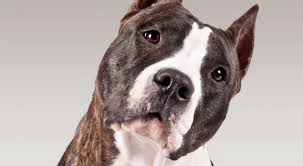 american pitbull terrier types american staffordshire terrier dog breed information american