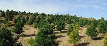tree selection and pricing beavers christmas tree farm