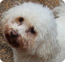 ozzie a bichon frise frizzy adopted dog mcdonough ga bichon frise