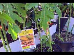tropical fruit trees for sale at lowes in subtropical northern