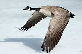 goose pictures kids search