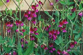 sweet peas flowers sweet pea flowers photograph by duncan smith
