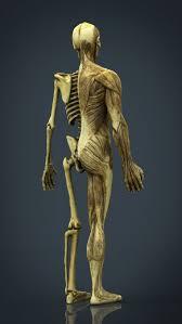 Human Body Anatomy Pics Human Body Anatomy Model 3d Model Cgstudio