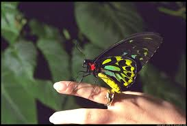 kuranda butterfly on finger 64