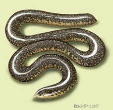 Blind Snake Hawaii Brahminy Blind Snake Photo Ramphotyphlops Braminus Image