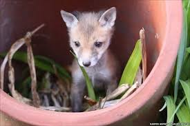 how dangerous are foxes to pets quora