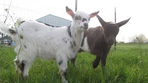 Get Your Goat Rentals by Amazon Will Rent You Goats To Mow Your Lawn Geek Com