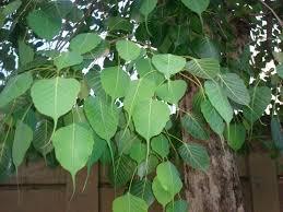 i earth i echo leaves of the peepal tree