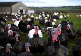 thanksgiving turkeys may been tamed 1 500 years ago in mexico