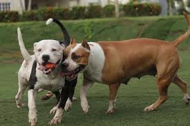 american pitbull terrier size chart best dog food for pitbulls 2017 u2013 buyer u0027s guide the pet god