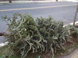 get those christmas trees out to the curb for recycling composting