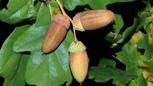 quercus robur l plants of the kew science