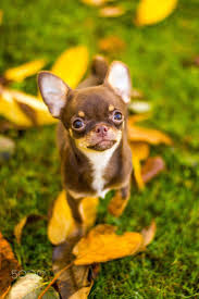 best 25 chihuahuas ideas on pinterest chihuahua chihuahua dogs