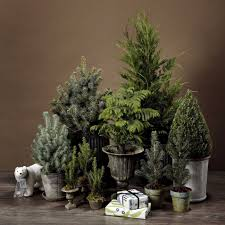 a living christmas tree you can put on a windowsill wsj