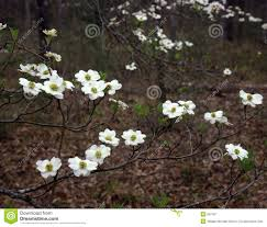 east texas native plants east texas dogwood royalty free stock photography image 697407