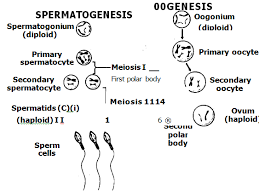meiosis the basis of sexual reproduction biology boom