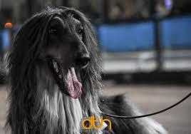 afghan hound racing uk poole greyhound stadium home facebook