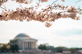 Cherry Blossom Facts by The Best Of Washington Dc For Free