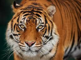eye of the tiger ken duncan galleries