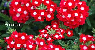 verbena flower verbena plant care how to grow the verbena flower